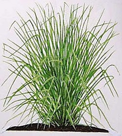 What is vetiver