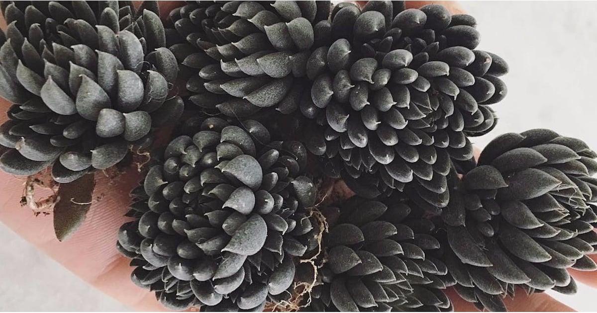 Black Succulents Popsugar Home