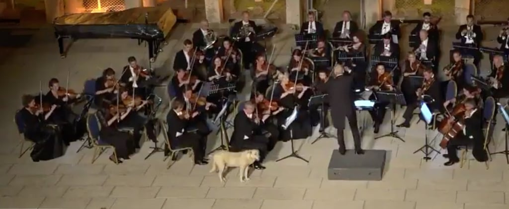 Very Good Dog Supports the Fine Arts by Casually Crashing Orchestra Concert
