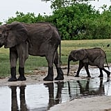 Elephants are herbivores. Elephants have padding on their feet for protection that allows them to walk nearly silently.