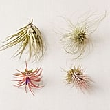 Small Live Assorted Air Plants