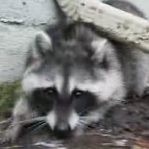 Tug-of-War With a Raccoon
