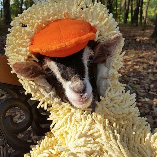 Goat Dresses in Duck Costume (Video)