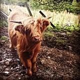 This fierce little cow