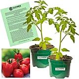 Clovers Garden Super Sauce Tomato Plants