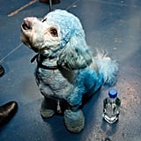 The pooch looks a little blue ahead of his turn on the dogcatwalk.