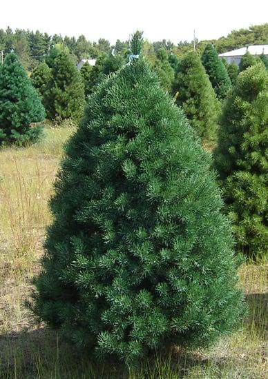 Name This Christmas Tree