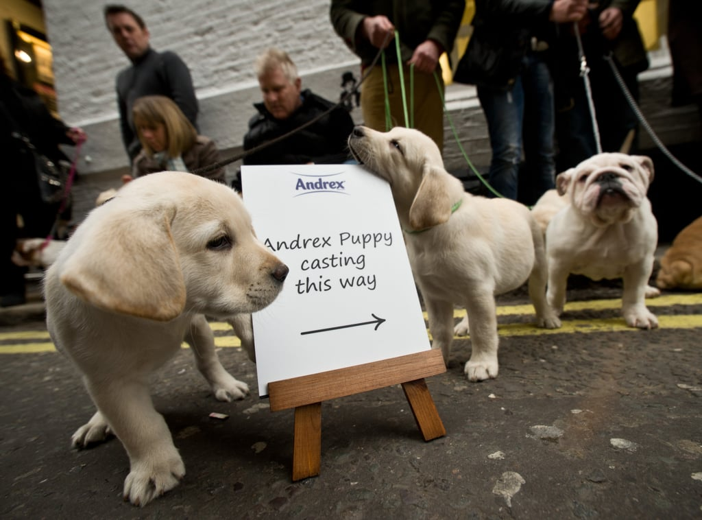 Andrex Puppy Casting — Who's the Cutest of Them All?