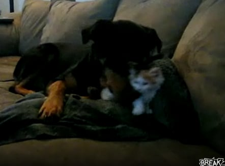 Cute Alert: Big Dog Plays With Tiny Kitten
