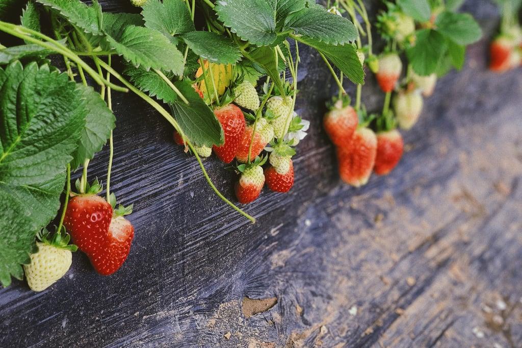 Go strawberry picking.