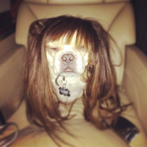 Chrissy Teigen Dog Wig