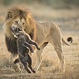 Lions [quarrel]