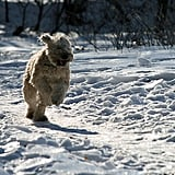 This pup's got the right idea: keep moving and keep your paws from freezing!  Source: Flickr user timsackton