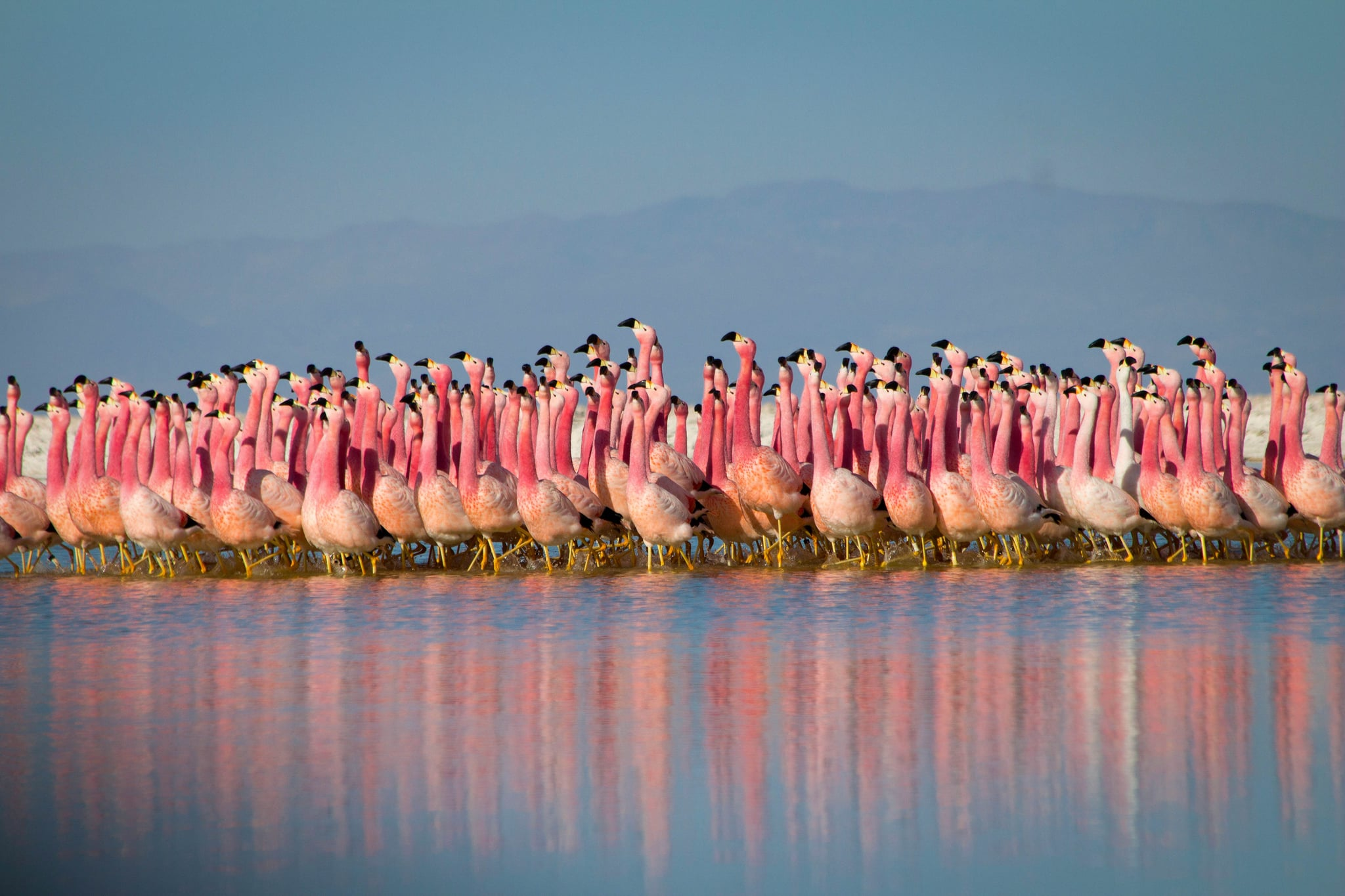 WARNING: Embargoed for publication until 00:00:01 on 25/07/2020 - Programme Name: Planet Earth A Celebration - TX: n/a - Episode: Planet Earth A Celebration (No. n/a) - Picture Shows: A group of flamingos performs a courtship dance in a salt lake on the arid Altiplano region of the High Andes.   - (C) NHU - Photographer: NHU