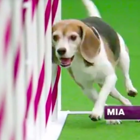 Mia the Beagle Agility Video | Westminster 2017