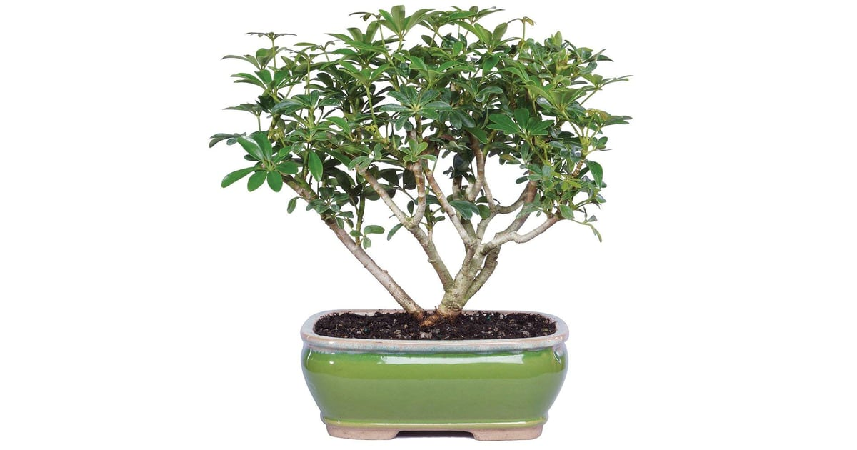 Brussel S Bonsai Live Hawaiian Umbrella Indoor Bonsai Tree Trees On Amazon Popsugar Home Uk Photo 7