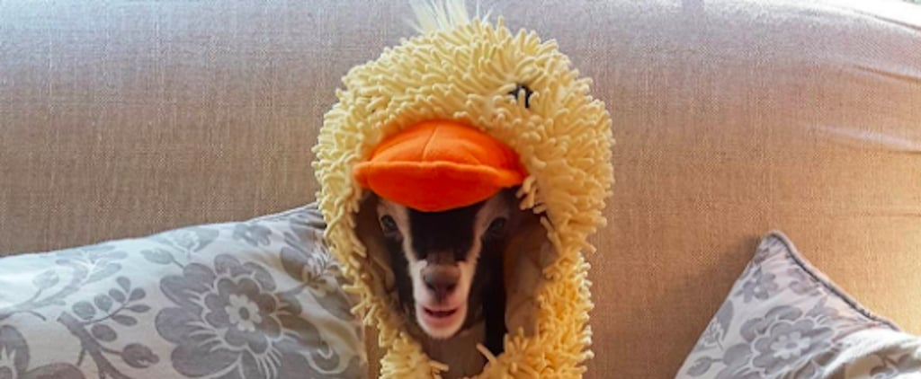 Goat Wearing Duck Costume