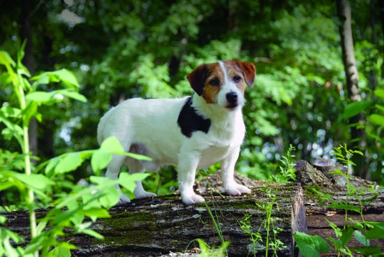 Russell Terriers: the American Kennel Club's 175th Breed ...