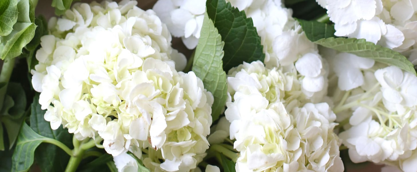 Interesting Facts About Hydrangea