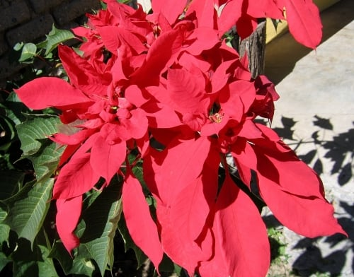 Test Your Poinsettia Knowledge