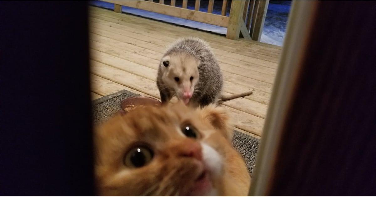possum steals cat u0026 39 s dinner