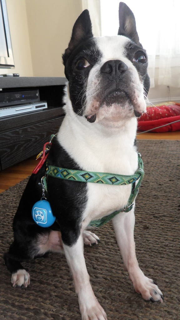 Puppy Tweets For Dogs' Collars