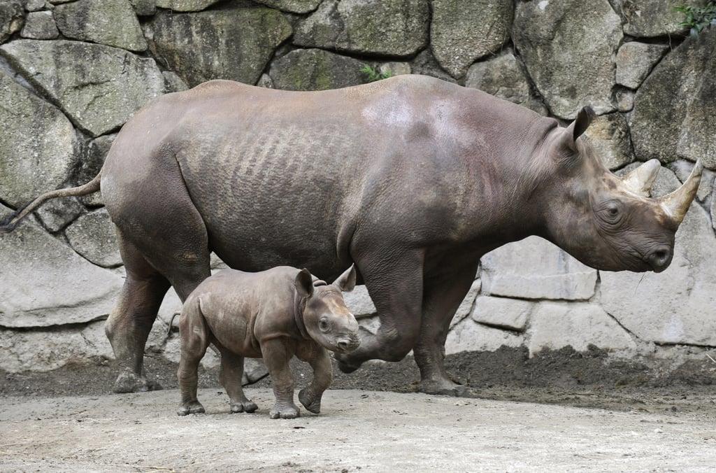 Baby Black Rhino at Tokyo's Ueno Zoo! Photo 3