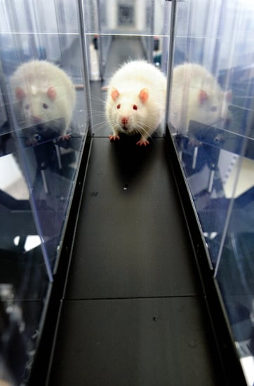 Britain Has More Rats Than People: Commence Squirming Now