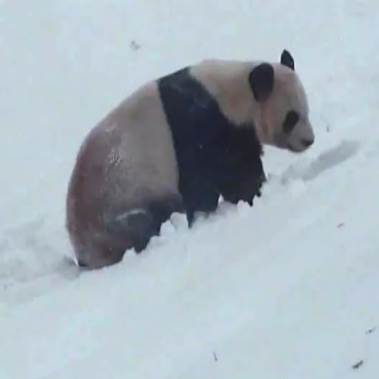Panda in Snow at Toronto Zoo