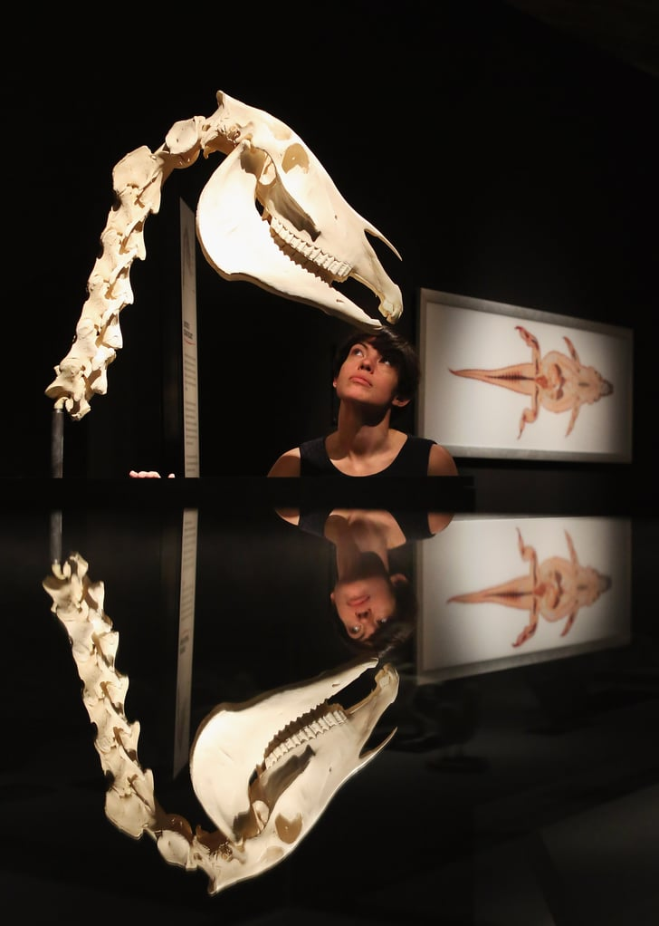 Win A Free Iphone 6 >> A horse's skull displays the large mandible and flat teeth ...
