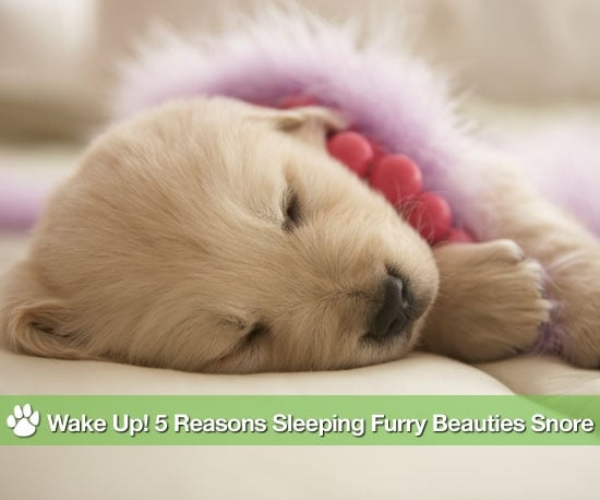 Why Do Dogs Snore?