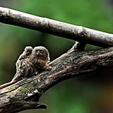 This pygmy marmoset is only a few weeks old, and calls the Santa Fe Zoo in Colombia its home.