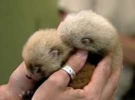 Two Red Pandas Born in Zoo