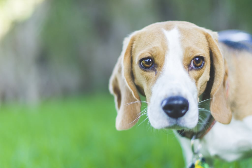 Cutest Pictures of Beagles