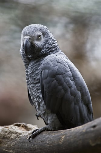According to the World Parrot Trust, an African gray parrot can live 50 to 60 years in captivity.