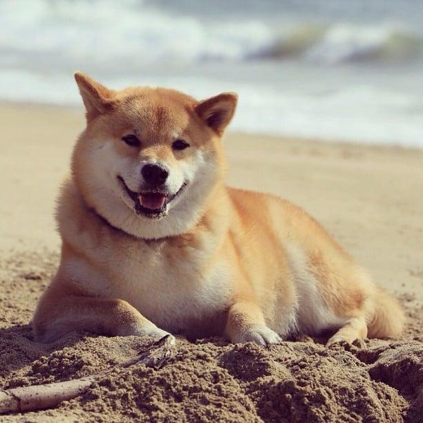 "It's Maru Taro the Shiba-inu, aka ""the most famous dog on Instagram!""   Source: Instagram user marutaro"