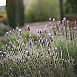 And don't forgot to stop and smell the lavender that grows abundantly throughout the Ranch.