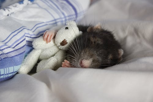 Cute Alert: Rat Snuggles With Teeny Tiny Stuffed Animal