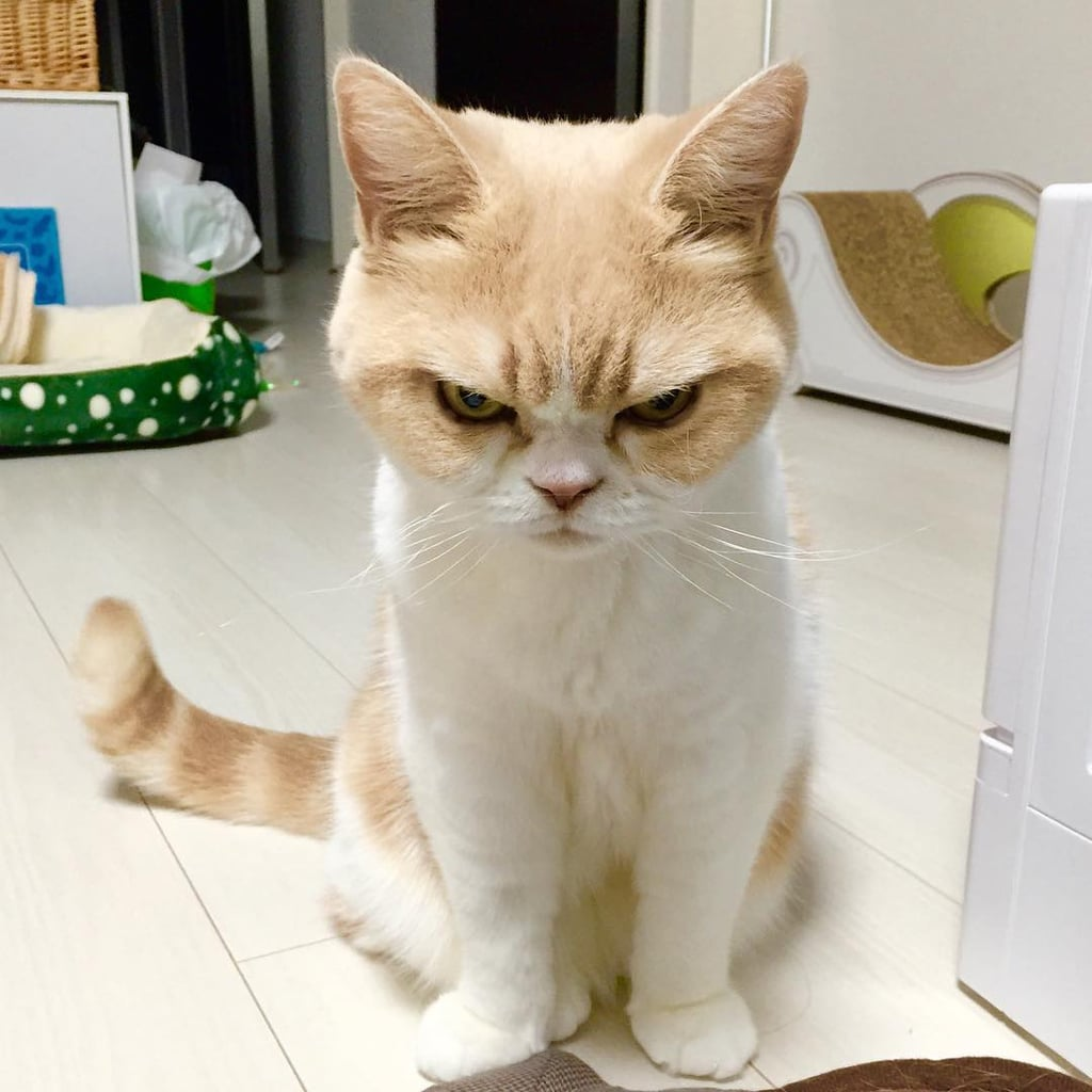 Koyuki The Japanese Grumpy Cat POPSUGAR Tech - Meet the japanese cat that might just be the grumpiest kitty ever