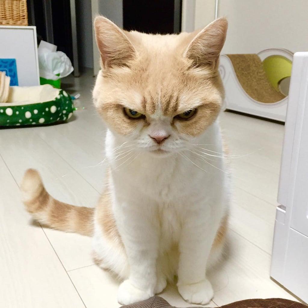 Koyuki The Japanese Grumpy Cat POPSUGAR Tech - Meet the japanese cat that might just be the grumpiest kitty ever