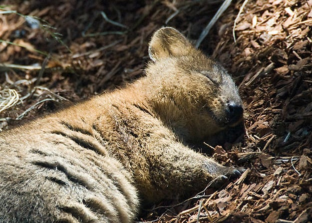 Quokkas even look like they're smiling when they're fast asleep! Source: Tumblr user Let's Get Science-y