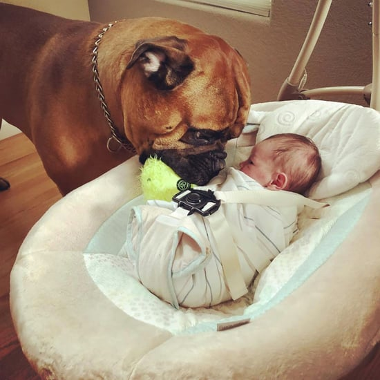 Photos of Bullmastiff and Baby Brother