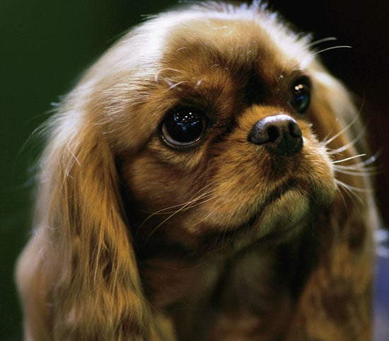 What Do You Know About Cavalier King Charles Spaniels?