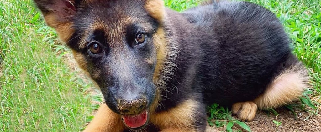The Cutest Pictures of German Shepherd Puppies