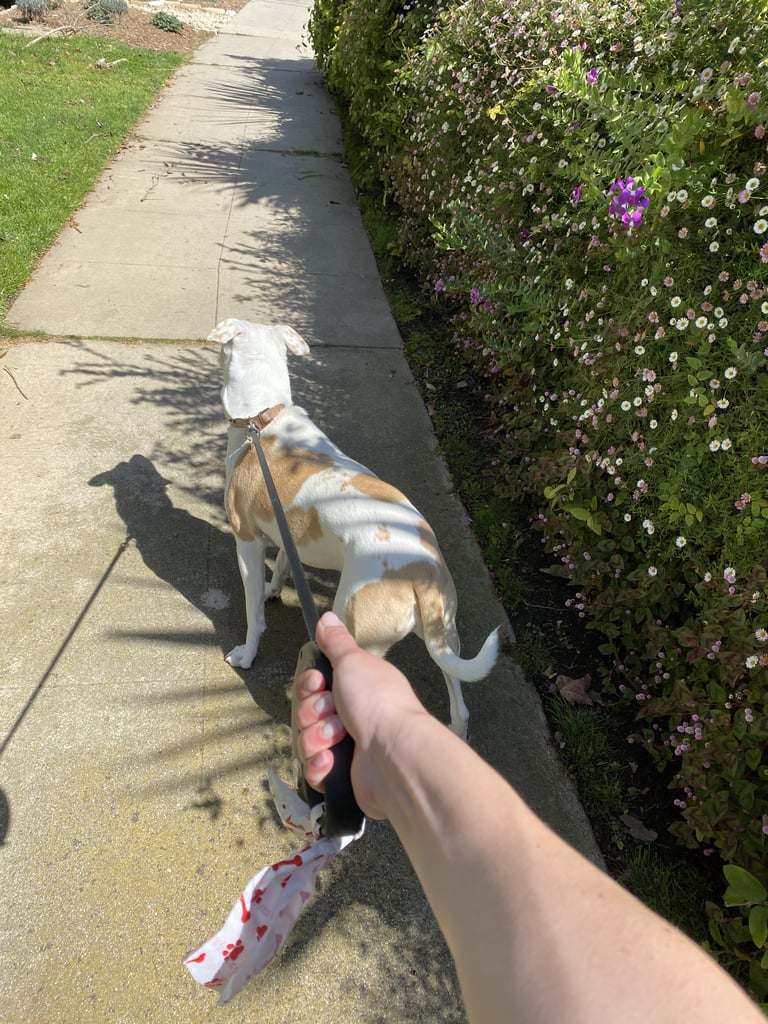 Sydney and Tank Go For a Walk