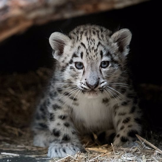 Snow Leopard Born at Cleveland Zoo