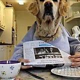 This cuddly golden retriever devouring a banana and reading the newspaper.