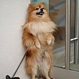 Playful Pomeranian