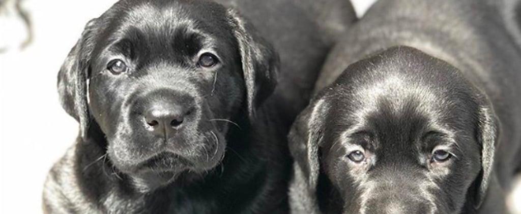 Photos of Labrador Puppies