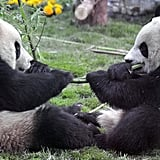 Super Cute Gallery: Eight Pandas Make it to Beijing Zoo